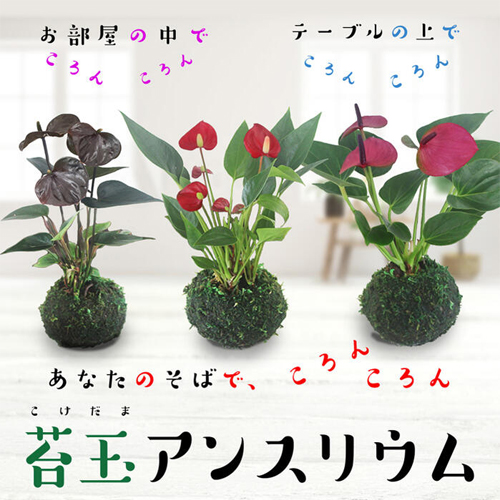 まん丸の苔玉にマイクロ親指サイズの小さな花が珍しく可愛い!敬老ギフトセット